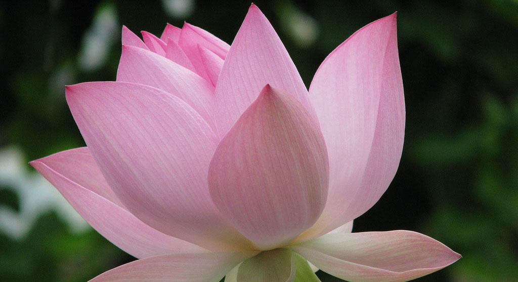 Цветок лотоса в парфюмерных ароматах